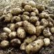 Arran Pilot Seed Potatoes