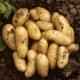 Charlotte Seed Potatoes