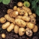 Lady Christl Seed Potatoes